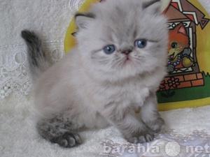 Продам Пушистые гималайские котята
