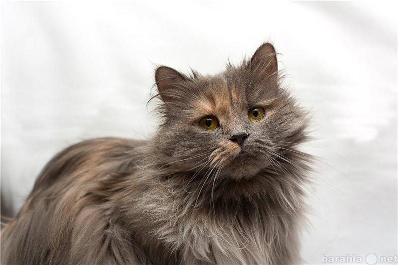 Отдам даром Ищет дом персидская кошка Ксюша.