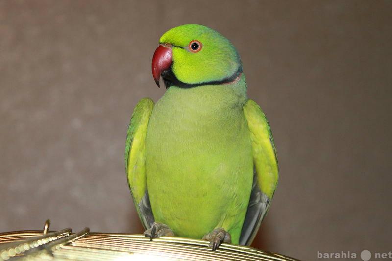 Продам Ожереловый попугай (мальчик) + клетка