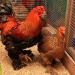 Продам Продажа породистых кур брама, орпингтон