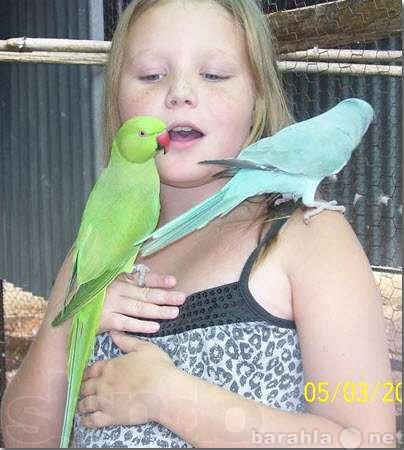 Продам Птенцы Ожереловых попугавев