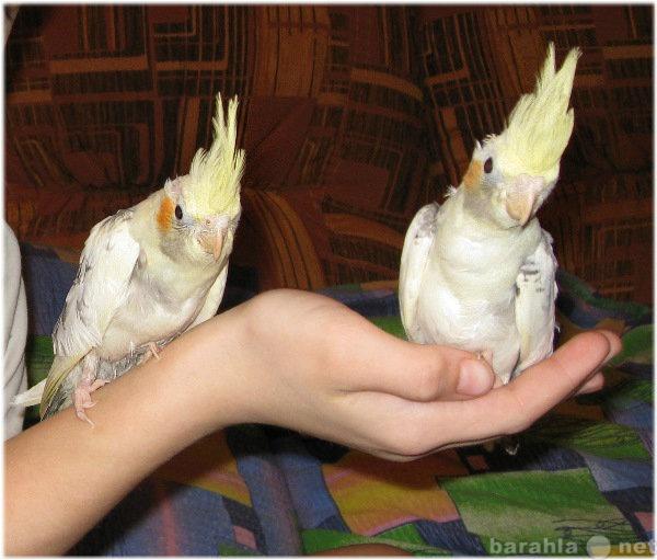 Продам Ручные попугаи Корелла - выкормыши