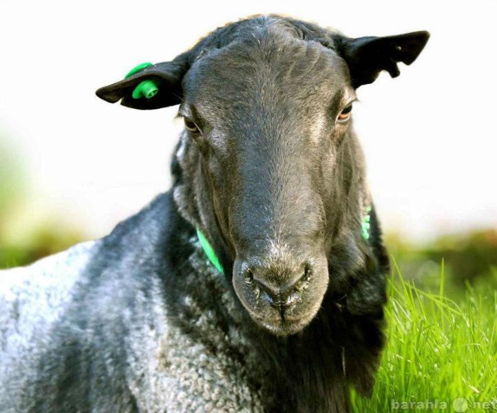 Продам Племенные овцы романовской породы