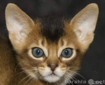 Продам Элитные абиссинские котята