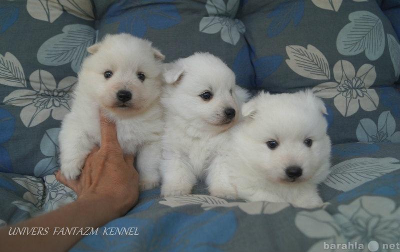 Продам Белоснежные щенки японского шпица