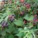 Продам Саженцы малины черной Кумберленд