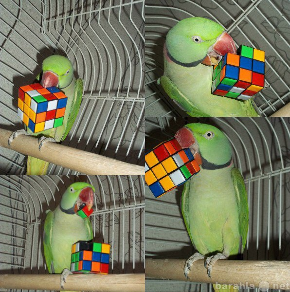 Продам: Александрийский говорящий попугай Кеша