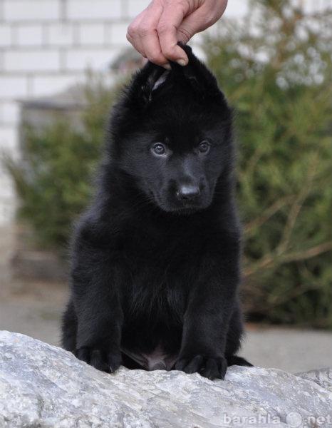 Продам Черные щенки но