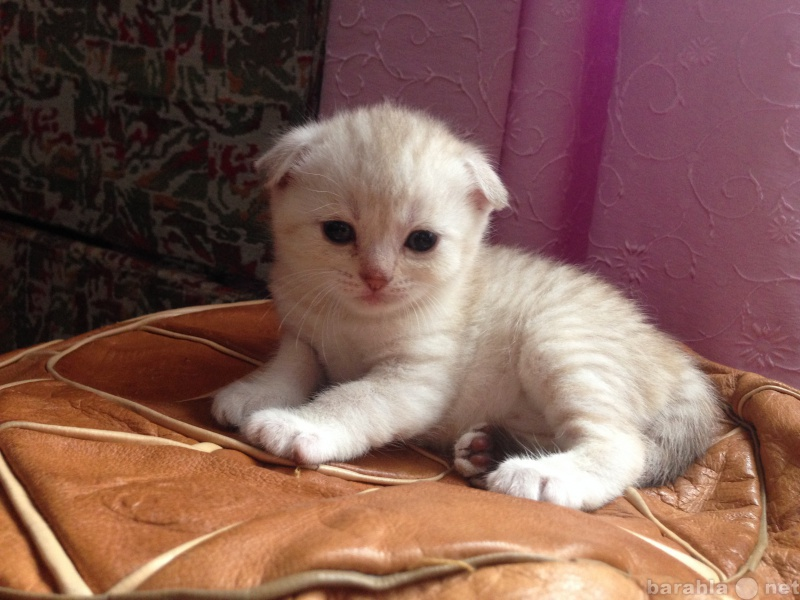 Продам: Котята шотландской породы