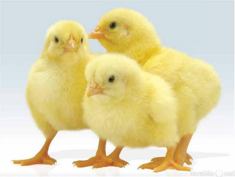 Продам Цыплята бройлерные.