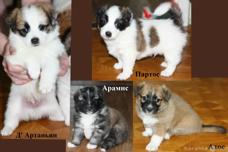 Отдам даром: Очаровательные щенки домашней дворняжки