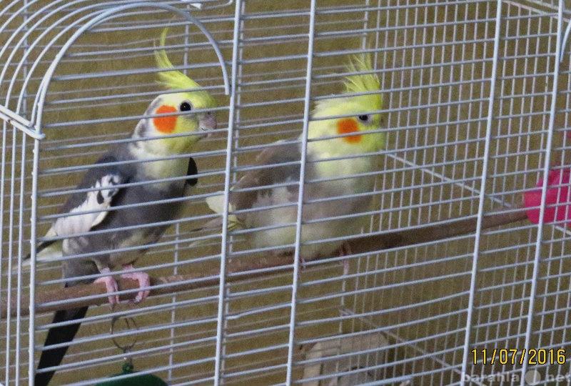 Продам семейную пару попугаев с клеткой