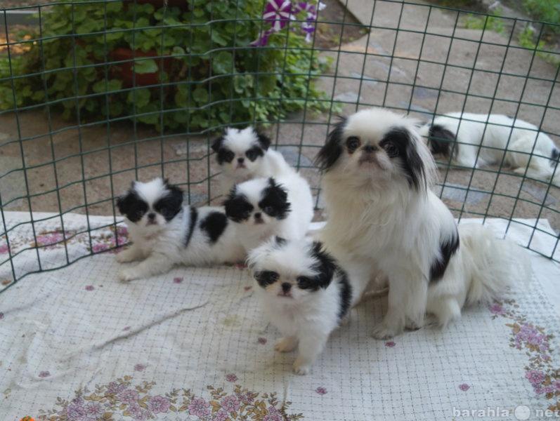 Продам Японский хин щенки
