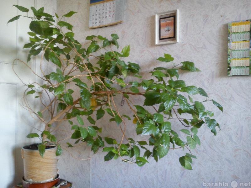 Продам Гибискус-китайская роза