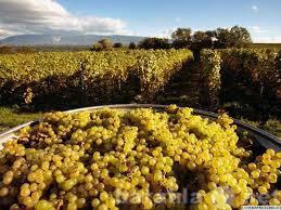 Продам Виноградный Кампот из Симферополя
