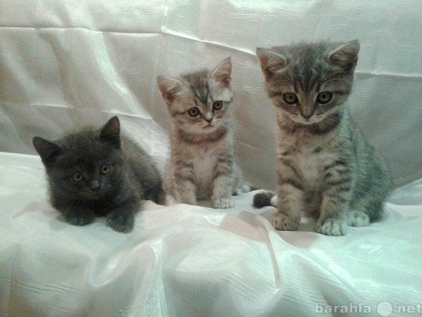 Продам Ласковые британские котята