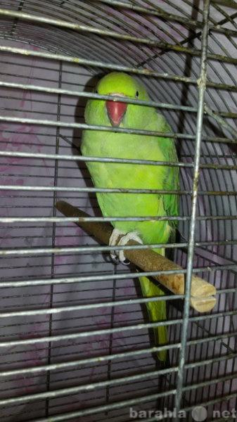 Продам: Самка ожерелового попугая