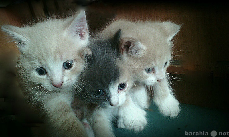 Отдам даром Три котёнка