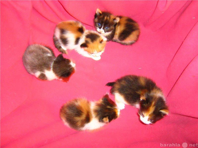 Отдам даром Трёхцветные котята