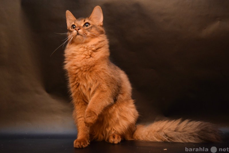 Продам Сомалийский котик