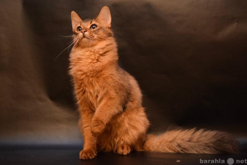 Продам Сомалийский котенок