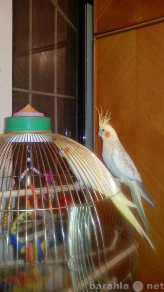 Продам Попугаи Корелла