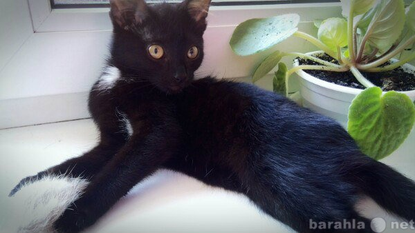 Отдам даром: Котенок (девочка), 1,5-2 мес.