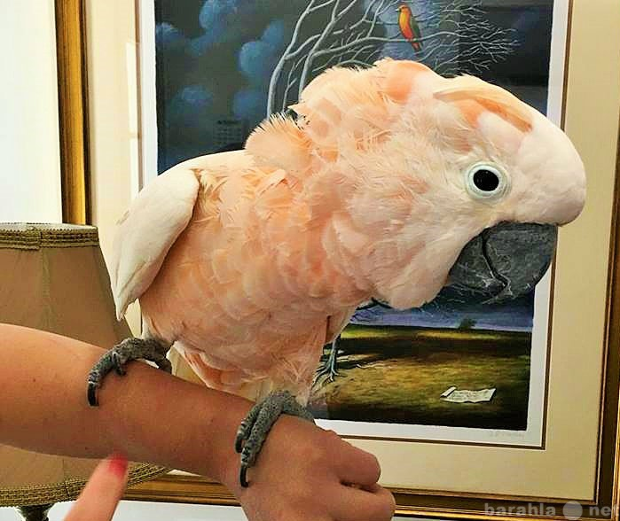Продам Молуккский какаду - птенцы выкормыши
