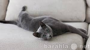 Отдам даром русского голубого котёнка