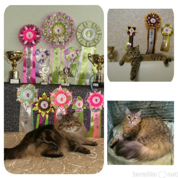 Продам Сибирские котята от Чемпионов