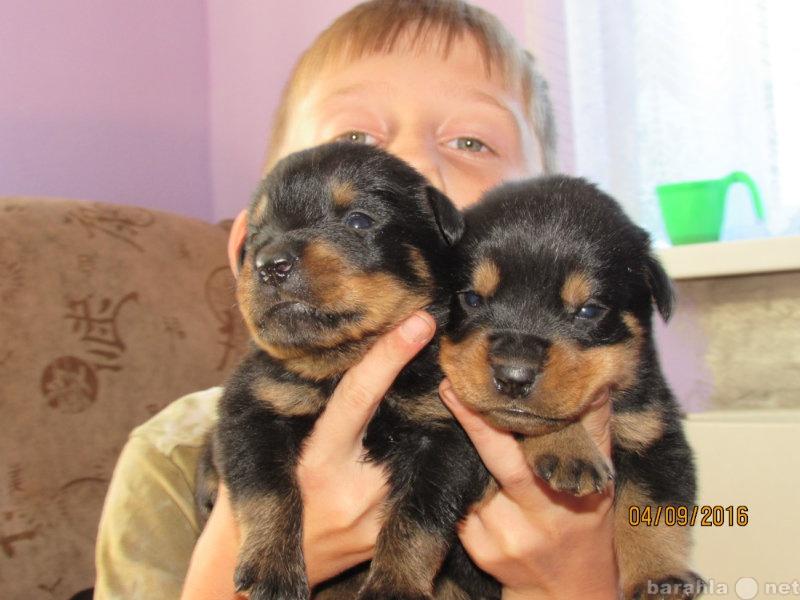 Продам продам щенят ротвейлера