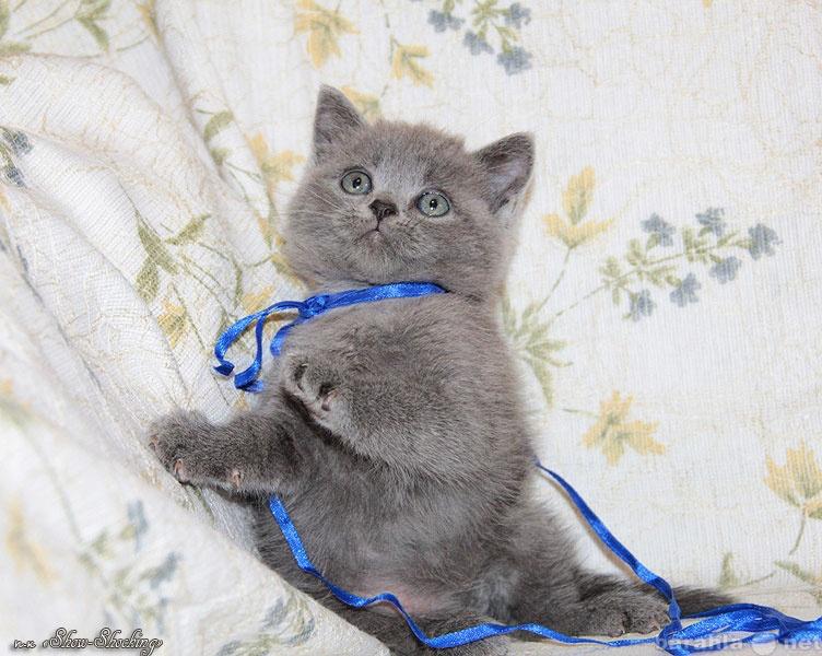 Продам Британские плюшевые котята.