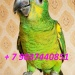 Продам Синелобый амазон  - птенцы выкормыши