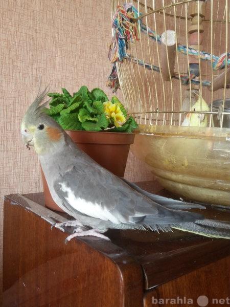 Продам: Попугаи кореллы