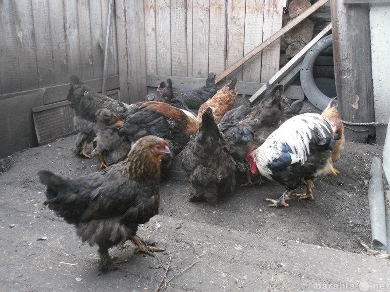 Продам домашних куриц и цыплят