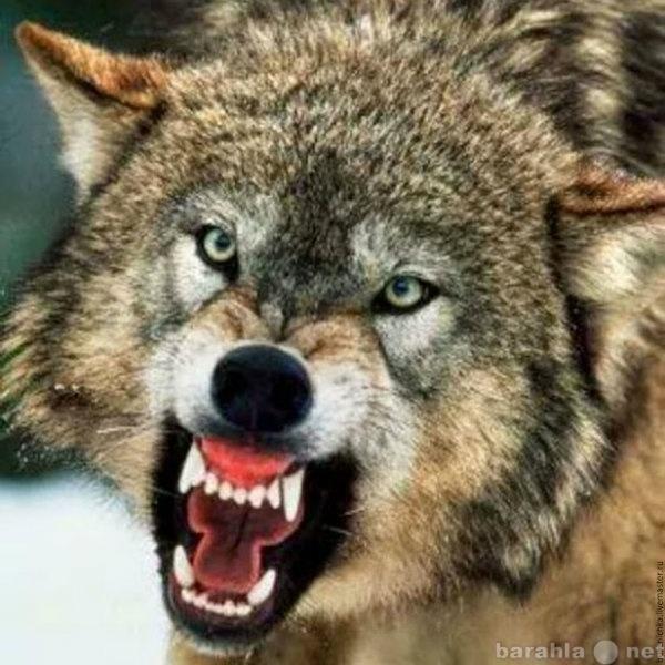 Куплю Клыки волка