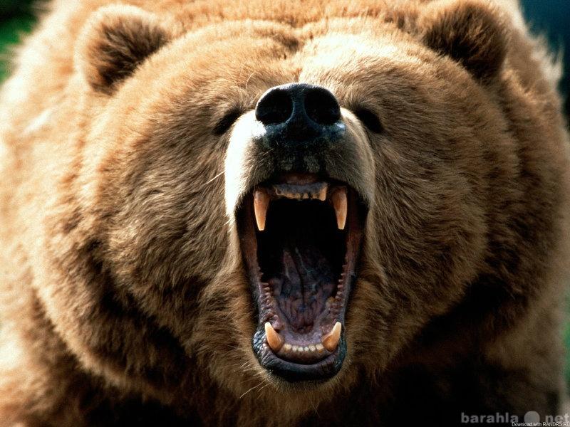 Куплю Клыки медведя