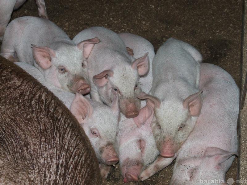 Белая русская порода свиней видео