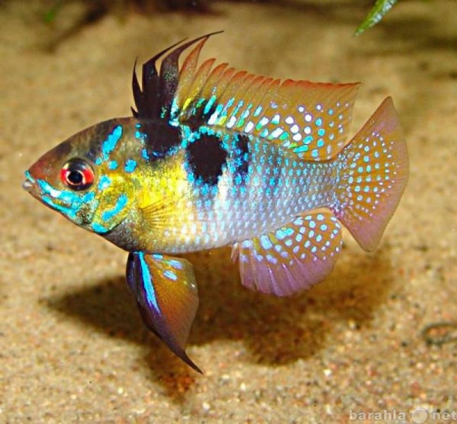 Продам Аквариумные рыбки собственного развода