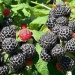 Продам саженцы малины черной