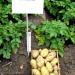 Продам Семенной картофель  Импала.