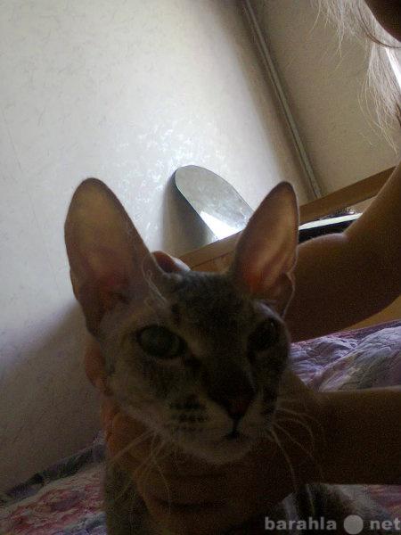 Отдам даром Кошка породы донской сфинкс