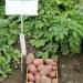 Продам семенной картофель рэд скарлет