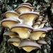 Продам Зерновой мицелий грибов для выращивания