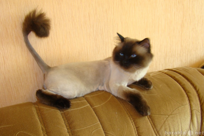 Предложение: стрижка кошек