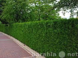 Предложение: Озеленение, живые изгороди