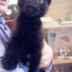 Предложение: Подарю чёрного котика 2-2.5 мес