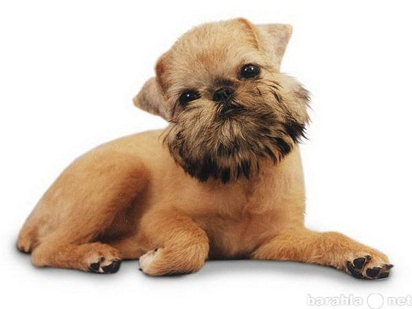 Предложение: Стрижка собак (тримминг гриффона)
