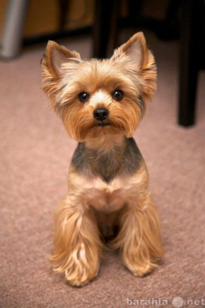 Предложение: Стрижка собак, тримминг