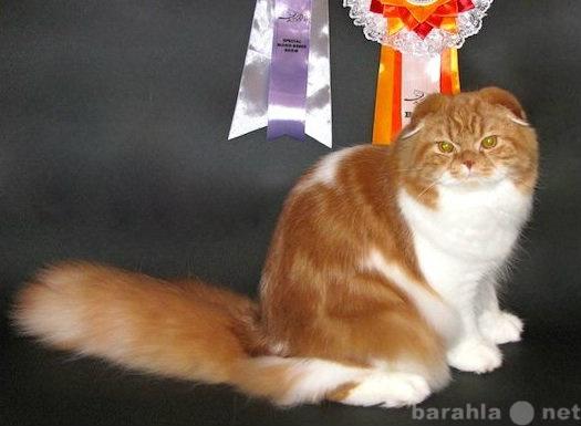 Предложение: Хайленд Фолд приглашает кошек на вязку